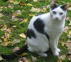 Résultat d'images pour chat blanc