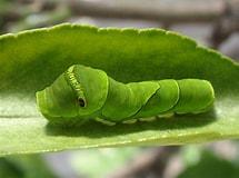 アゲハ蝶 幼虫 に対する画像結果.サイズ: 215 x 160。ソース: kawasimanota.blogspot.com