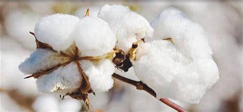 Resultado de imagen de fotos de siembra de algodon en chihuahua