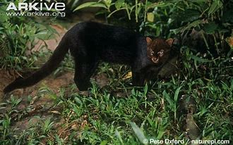 Image result for black jaguarundi
