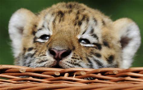 虎 赤ちゃん に対する画像結果