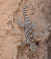 Image result for fan footed gecko