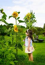 Image result for huge garden with sunflowers on one side
