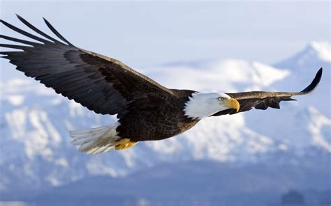 Image result for free images of eagles flying