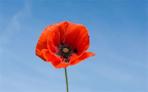 Image result for poppy