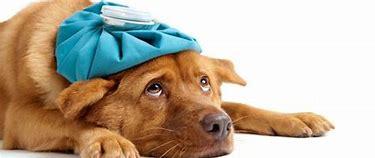 Image result for images of dog feeling sick