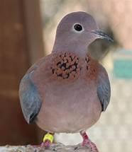 Image result for senegal dove