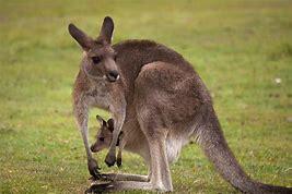 Résultat d'images pour kangourou et son bébé