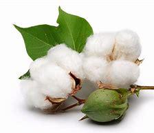 Resultado de imagen de imagenes del algodon
