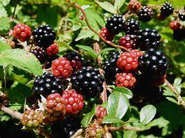 Image result for blackberries