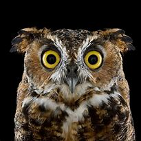 Image result for images of staring owl