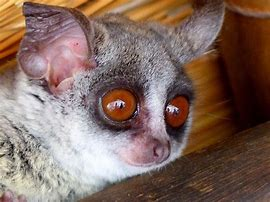 Image result for images of bush baby staring