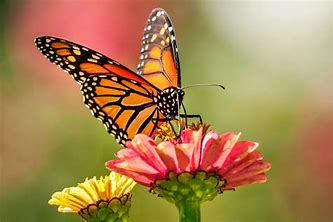 Image result for images of monarch butterfly