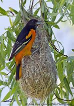 Image result for images of baltimore oriole and nest