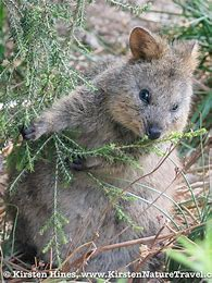 Image result for images of quokkas hiding