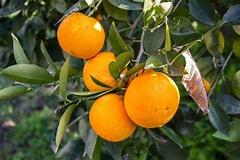 Image result for Florida Orange. Size: 240 x 160. Source: southeastagnet.com
