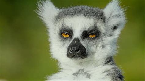 Image result for wildlife trade cage lemur