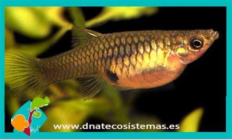 Resultado de imagen de plaga de peces guppy