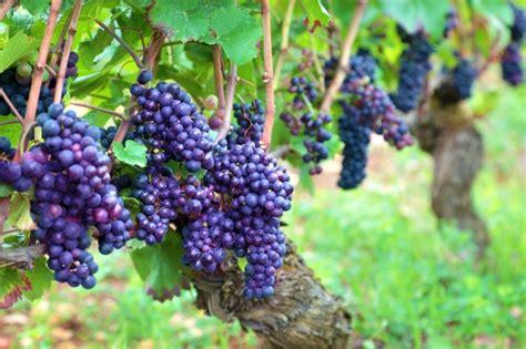 Resultado de imagen de imagen de racimos de uvas