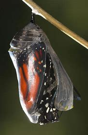 Image result for butterfly emerging from chrysalis