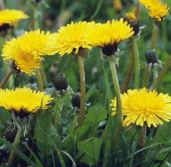 Image result for Dandelion. Size: 164 x 160. Source: www.caribbeangreenliving.com