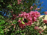 Image result for Royalty Free Picture of Crepe Myrtle Pink Blossoms