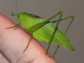 Image result for images of katydids