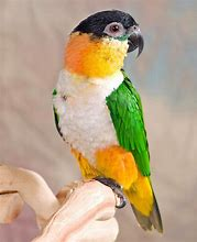Image result for caique