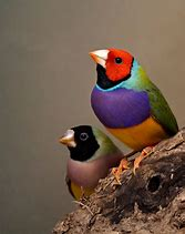 Image result for gouldian finches