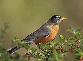 Image result for robin image bird