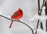Image result for Free Picture of Cardinal in Snow. Size: 150 x 110. Source: roadsendnaturalist.wordpress.com