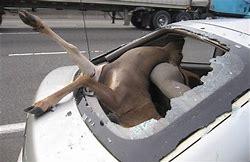 Image result for deer car crash