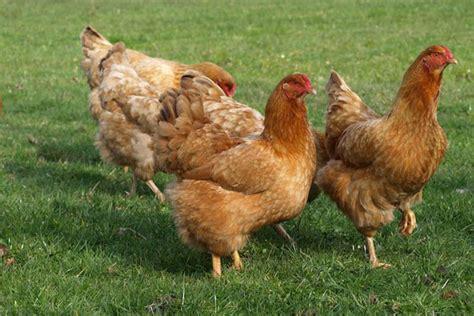 Resultado de imagen de gallinas sin gallinero al aire libre