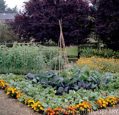 Image result for marigolds around garden