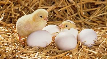 Image result for Chicken Hatching From Egg