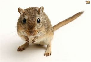 Image result for images of gerbils