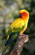Image result for baby sun conures