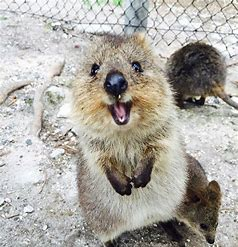 Image result for images of happy quokkas