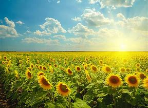 Image result for sun flowers
