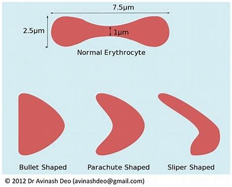 Image result for red cell, parachute shape,