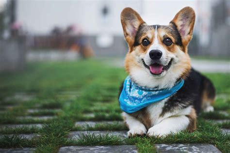 Image result for pictures of welsh corgi dogs