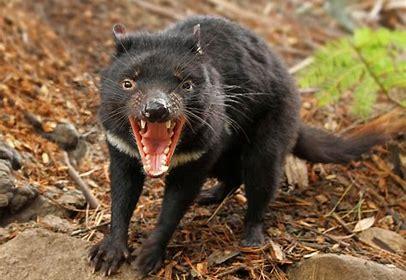 Image result for tasmanian devil images