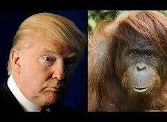 Image result for trump orangutan
