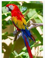 Image result for scarlet macaw