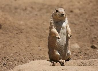 Image result for images of prairie dog