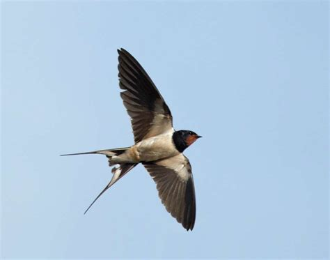 Image result for Pictures Flying Barn Swallows