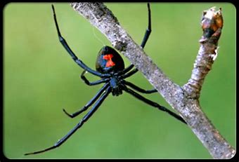 Image result for images black widow spider