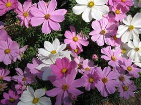 Image result for cosmos plant