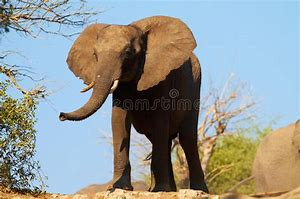 Image result for pictures of african elephants on veldt