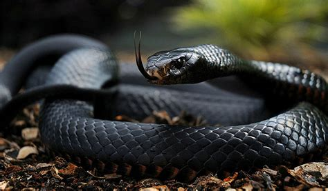 Image result for Black Mamba